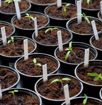 секреты выращивания рассады